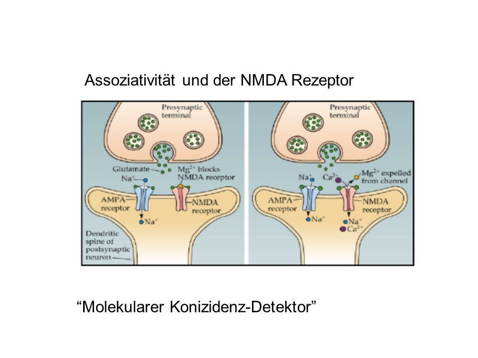 Assoziativität und der NMDA Rezeptor