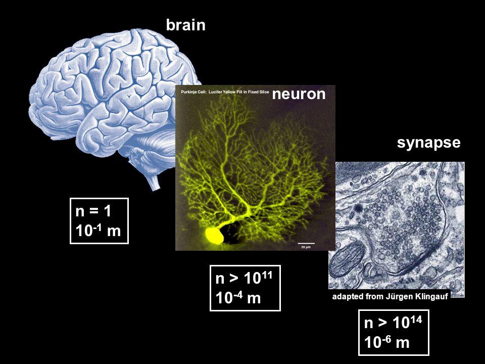 brain neuron synapse n = 1 10-1 m n > 1011 10-4 m n > 1014