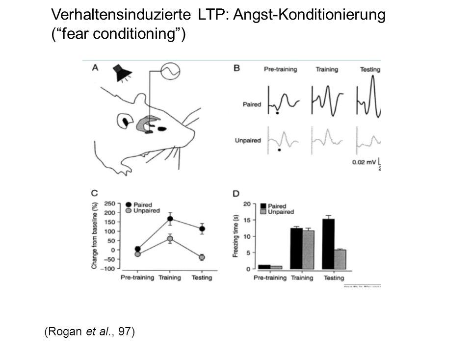 Verhaltensinduzierte LTP: Angst-Konditionierung ( fear conditioning )