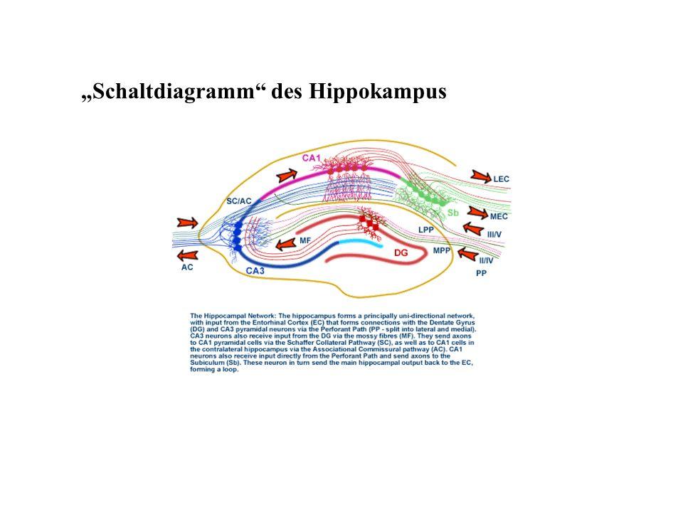 """""""Schaltdiagramm des Hippokampus"""