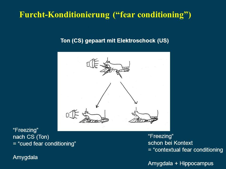Furcht-Konditionierung ( fear conditioning )
