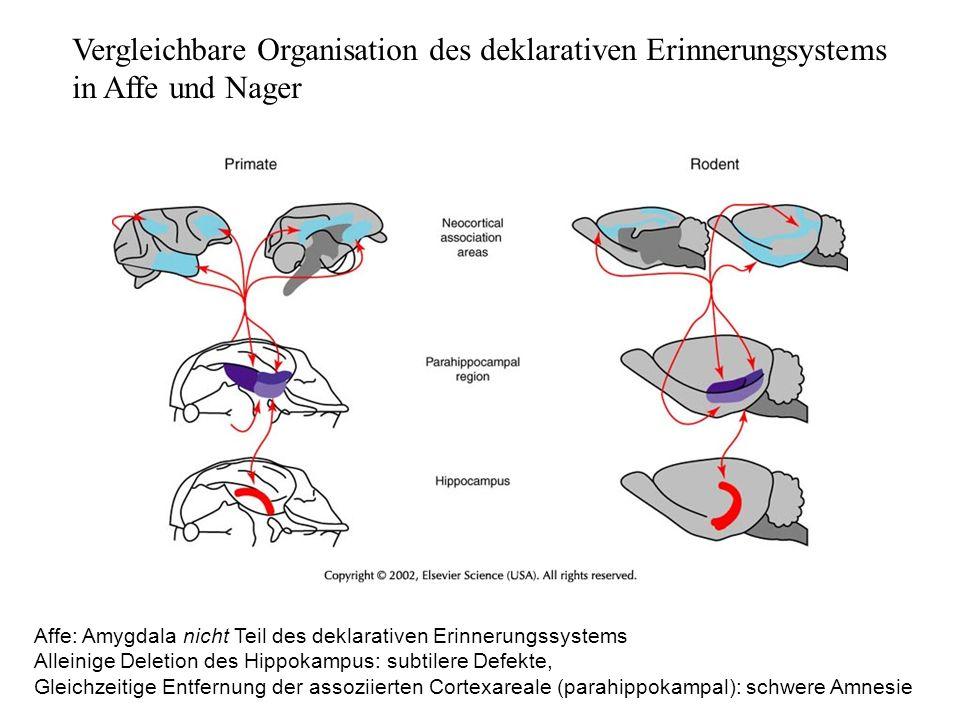 Vergleichbare Organisation des deklarativen Erinnerungsystems