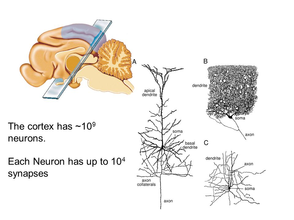 The cortex has ~109 neurons.