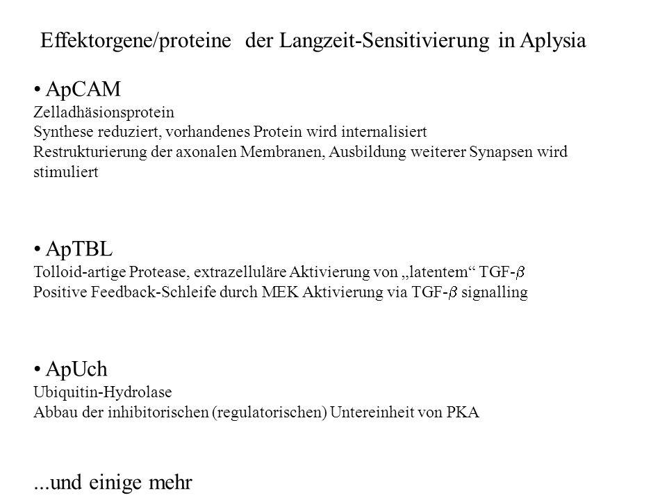 Effektorgene/proteine der Langzeit-Sensitivierung in Aplysia