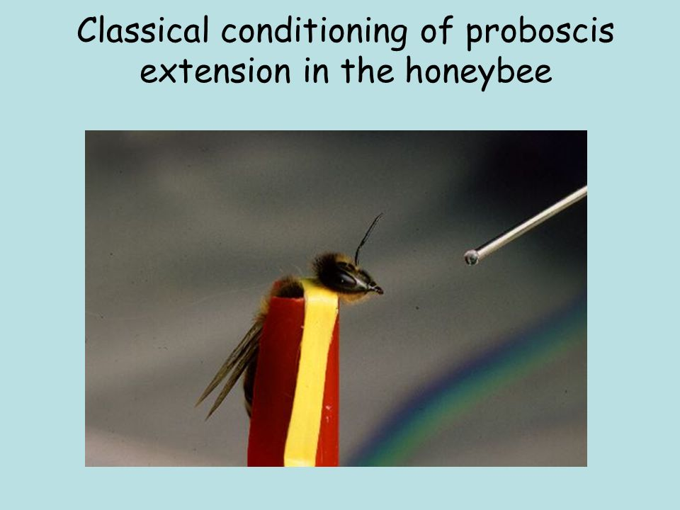 Classical conditioning of proboscis extension in the honeybee