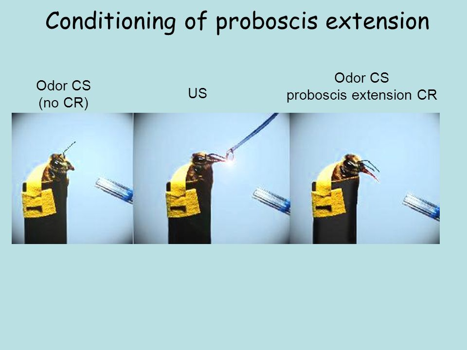Conditioning of proboscis extension
