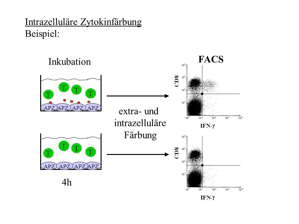 Intrazelluläre Zytokinfärbung Beispiel: