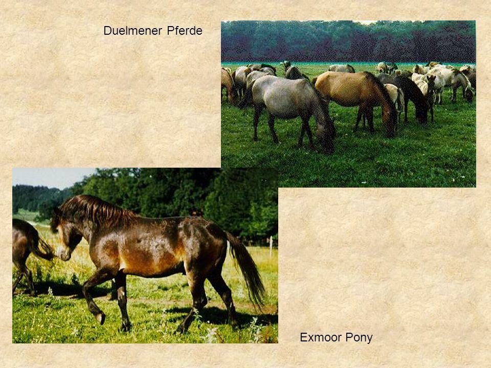 Duelmener Pferde Exmoor Pony
