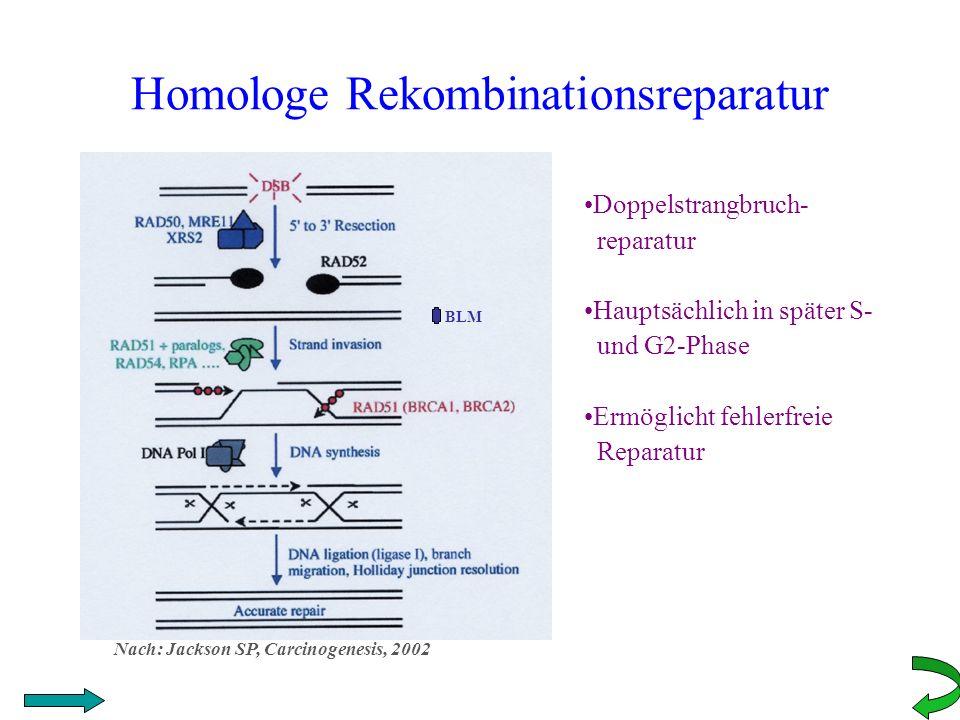 Homologe Rekombinationsreparatur