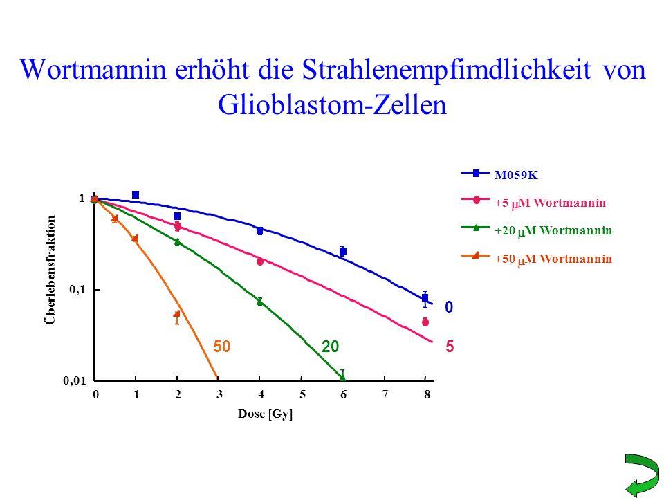 Wortmannin erhöht die Strahlenempfimdlichkeit von Glioblastom-Zellen