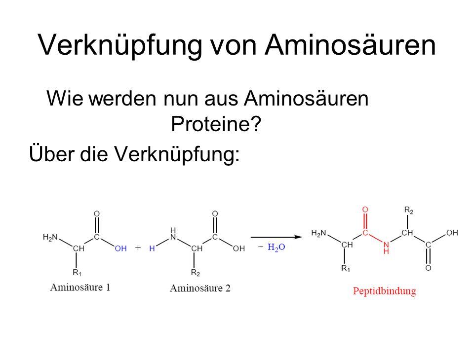 Verknüpfung von Aminosäuren