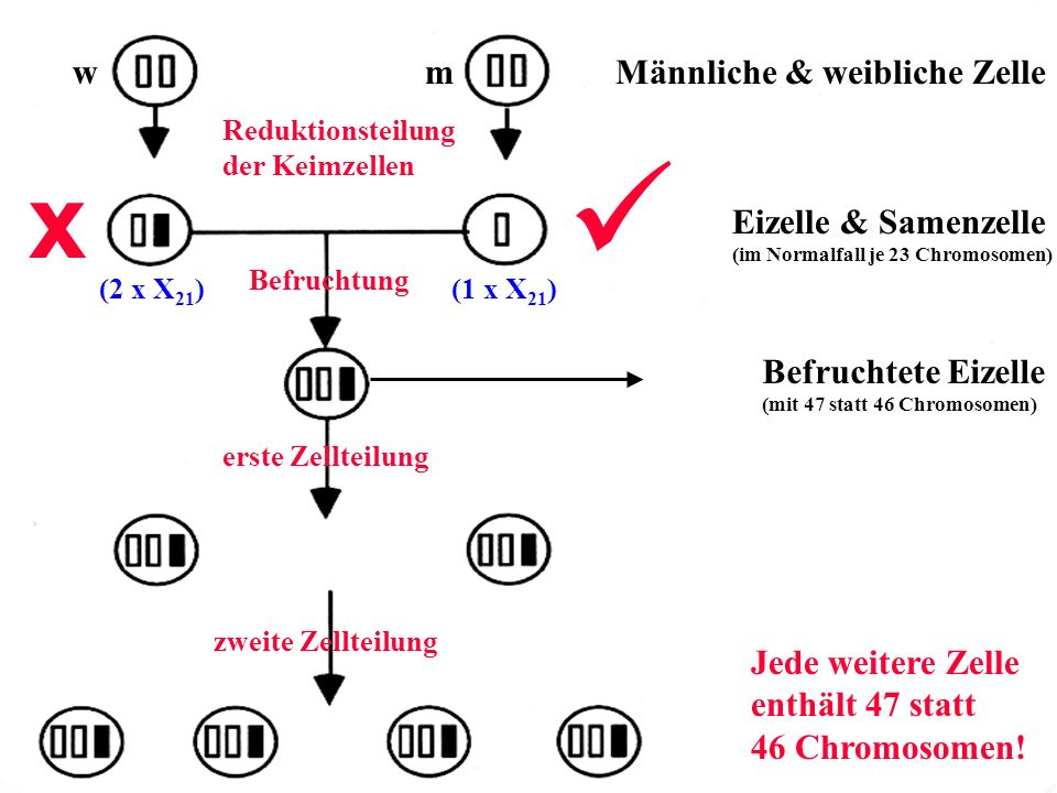 x w m Männliche & weibliche Zelle Eizelle & Samenzelle richtig