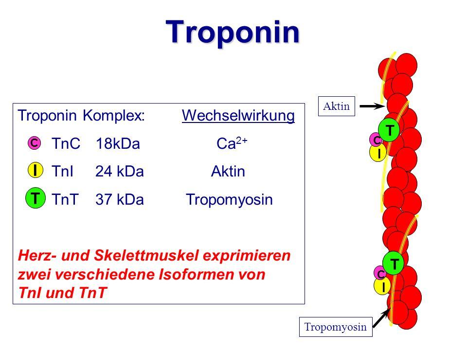 Troponin I T Troponin Komplex: Wechselwirkung TnC 18kDa Ca2+