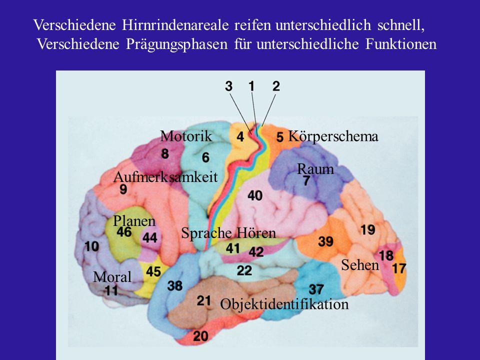 Verschiedene Hirnrindenareale reifen unterschiedlich schnell,