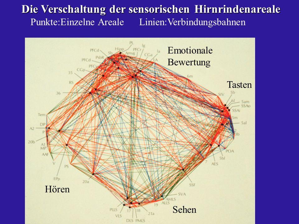 Die Verschaltung der sensorischen Hirnrindenareale