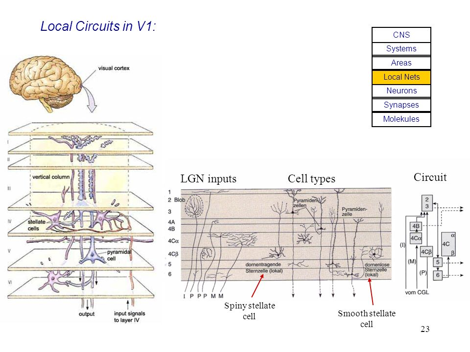 Local Circuits in V1: LGN inputs Cell types Circuit Spiny stellate
