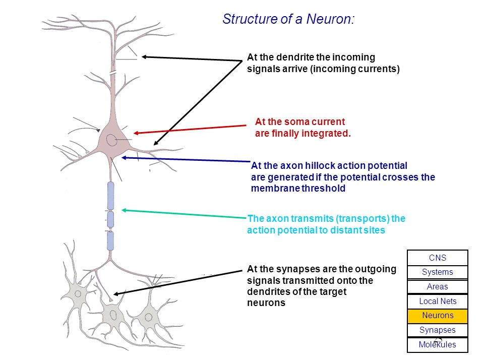 Structure of a Neuron: At the dendrite the incoming