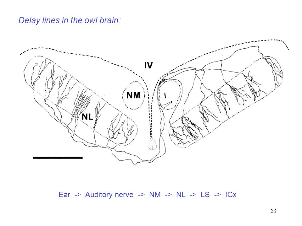 Delay lines in the owl brain: