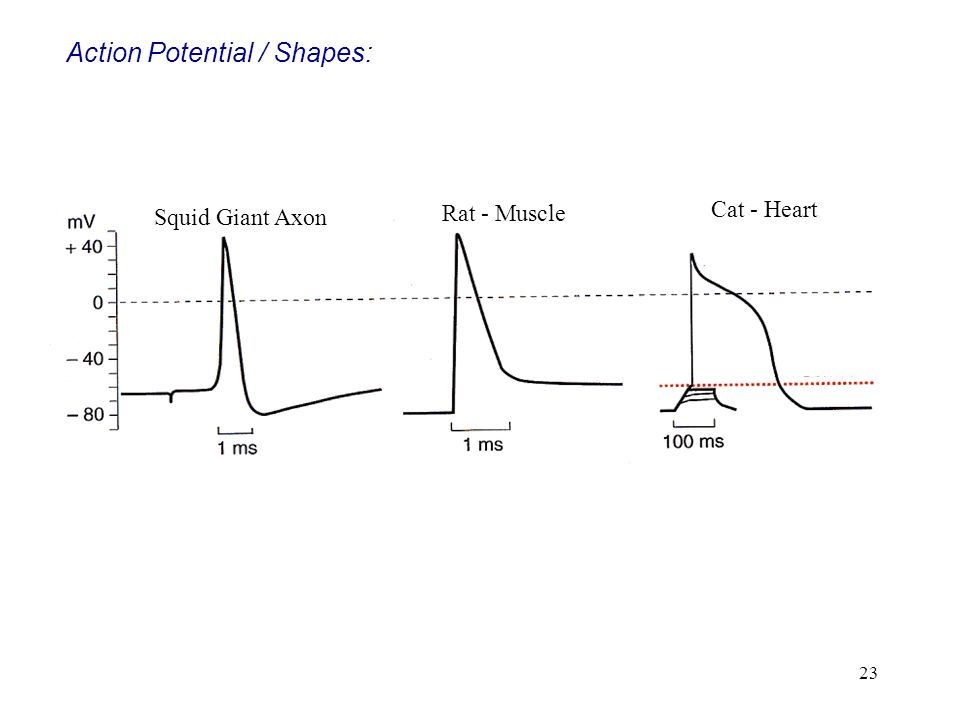 Action Potential / Shapes: