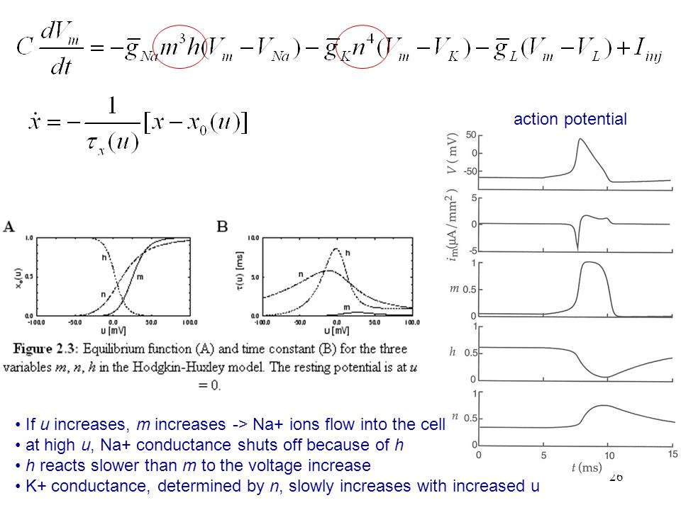 action potentialIf u increases, m increases -> Na+ ions flow into the cell. at high u, Na+ conductance shuts off because of h.