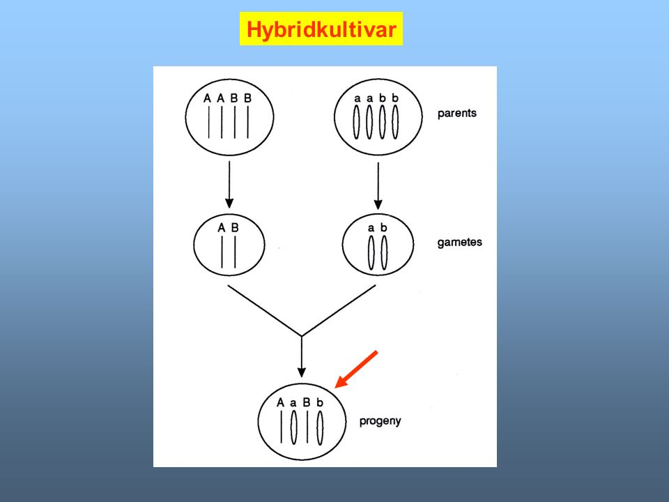 Hybridkultivar