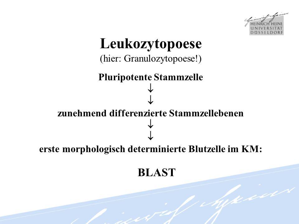Leukozytopoese BLAST (hier: Granulozytopoese!) Pluripotente Stammzelle