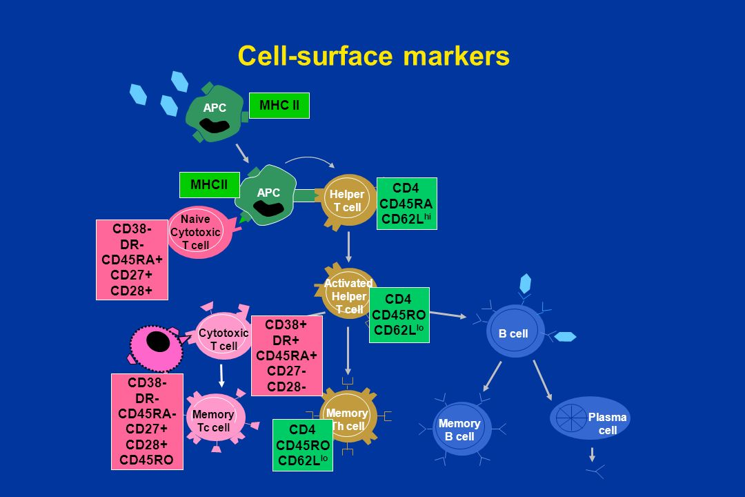 Activated Helper T cell
