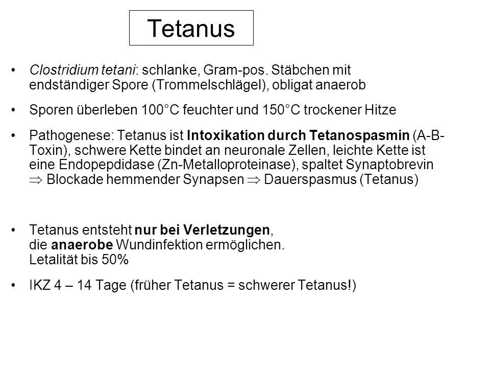 Tetanus Clostridium tetani: schlanke, Gram-pos. Stäbchen mit endständiger Spore (Trommelschlägel), obligat anaerob.