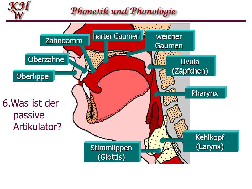 Stimmlippen (Glottis)