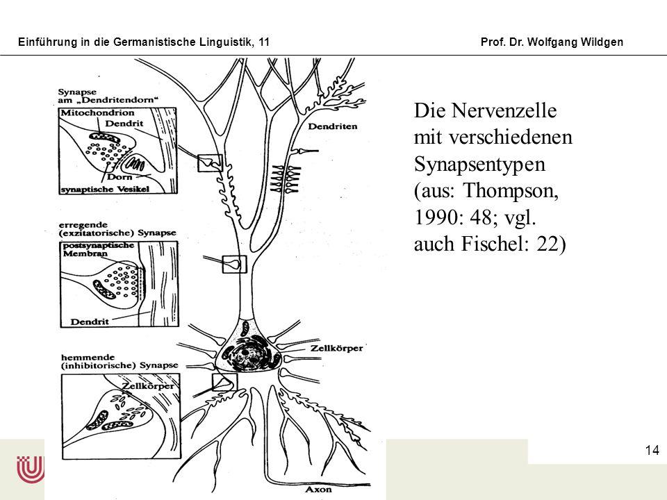 Die Nervenzelle mit verschiedenen Synapsentypen (aus: Thompson, 1990: 48; vgl. auch Fischel: 22)