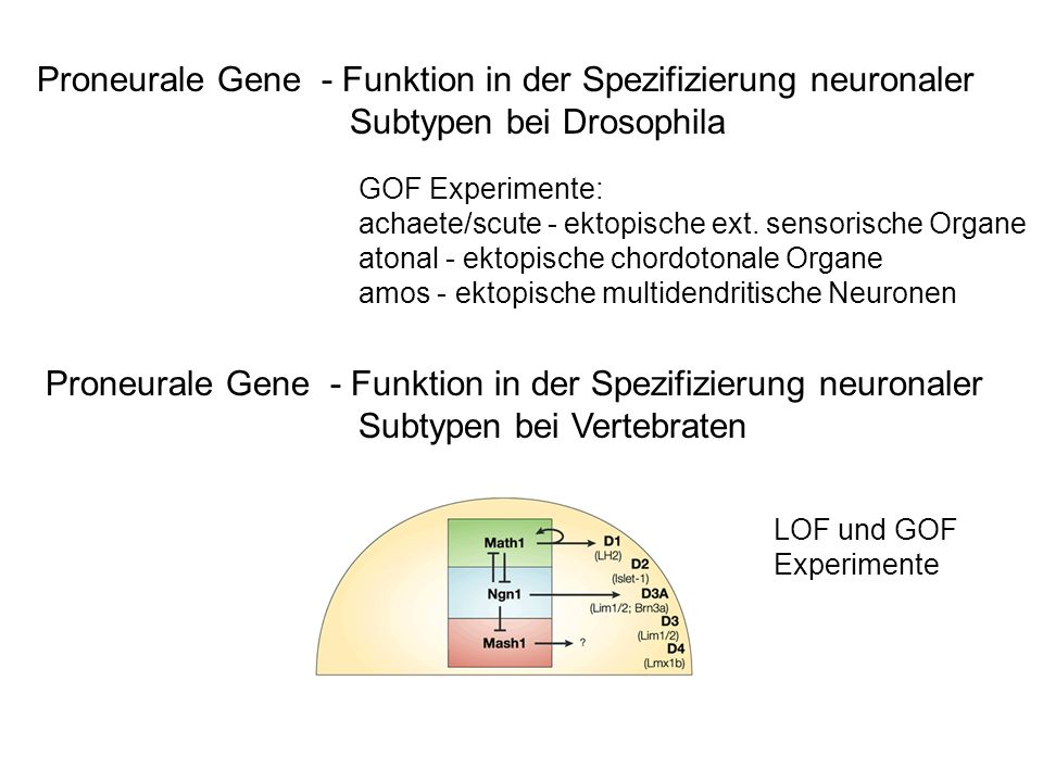 Proneurale Gene - Funktion in der Spezifizierung neuronaler