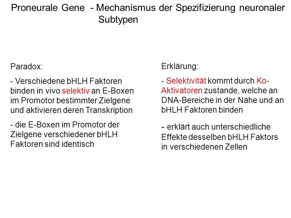 Proneurale Gene - Mechanismus der Spezifizierung neuronaler Subtypen