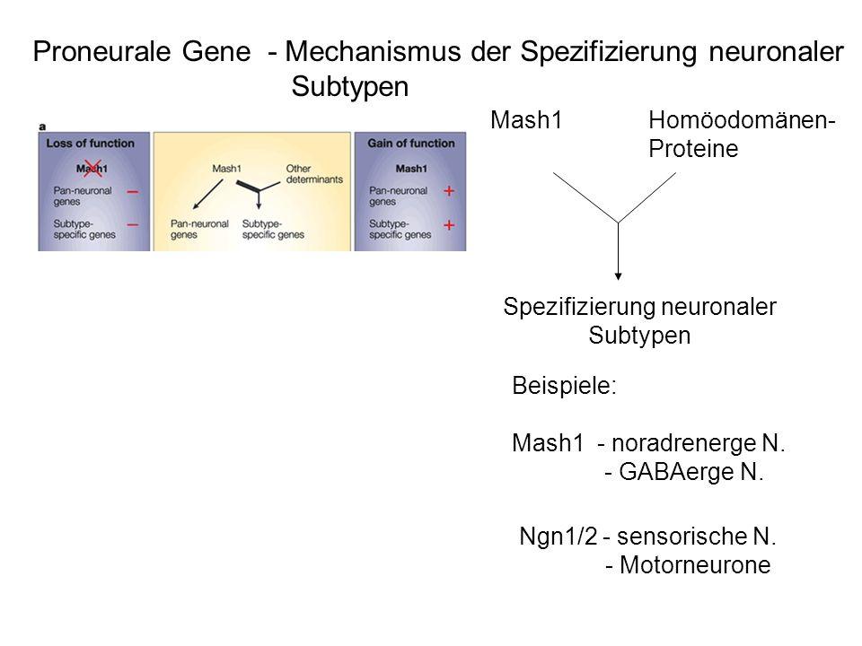 Spezifizierung neuronaler Subtypen