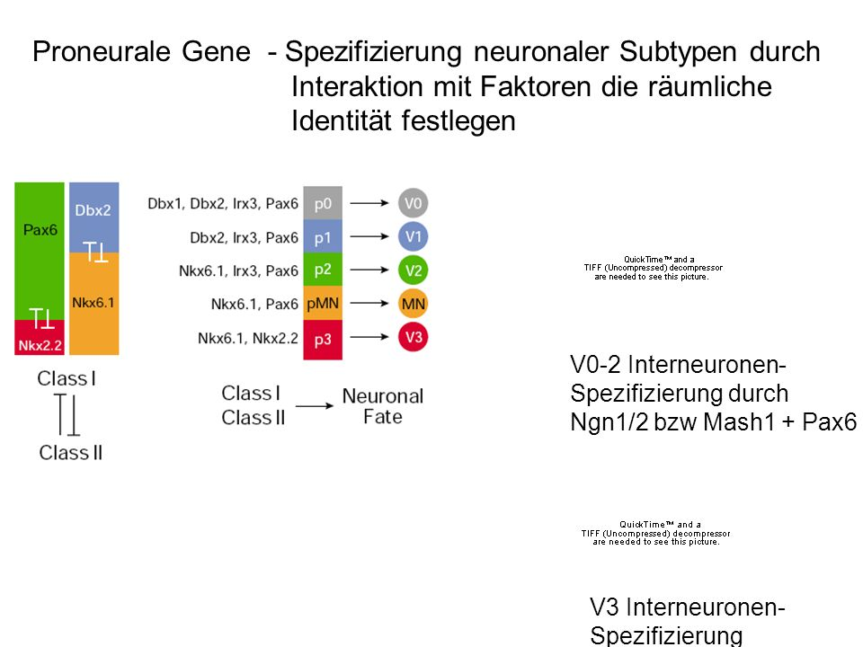 Proneurale Gene - Spezifizierung neuronaler Subtypen durch