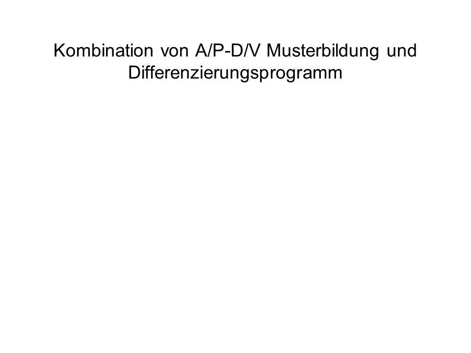 Kombination von A/P-D/V Musterbildung und Differenzierungsprogramm