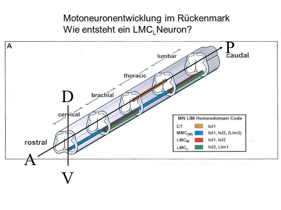 P D A V Motoneuronentwicklung im Rückenmark