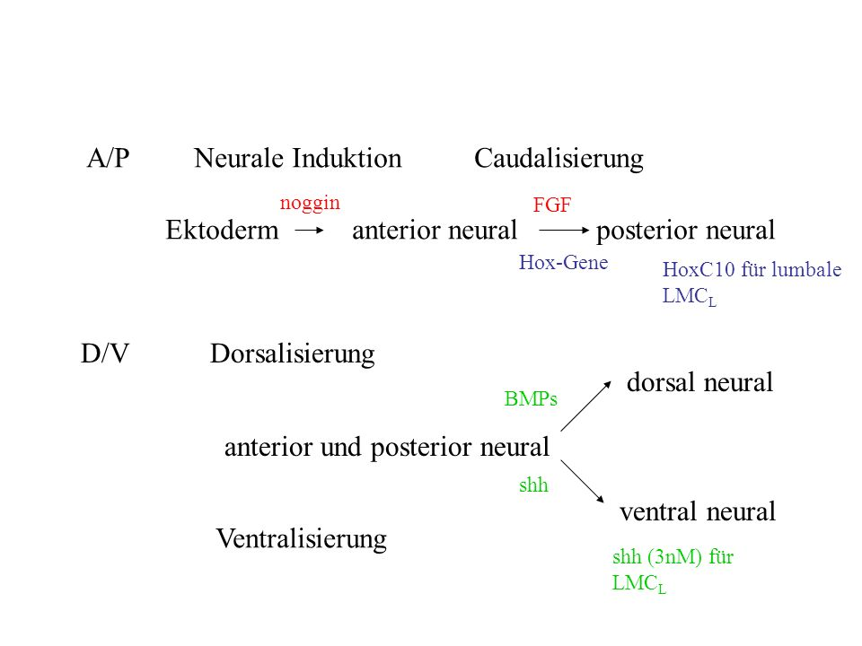 A/P Neurale Induktion Caudalisierung