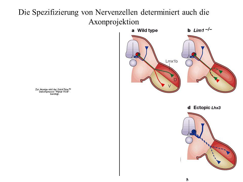 Die Spezifizierung von Nervenzellen determiniert auch die