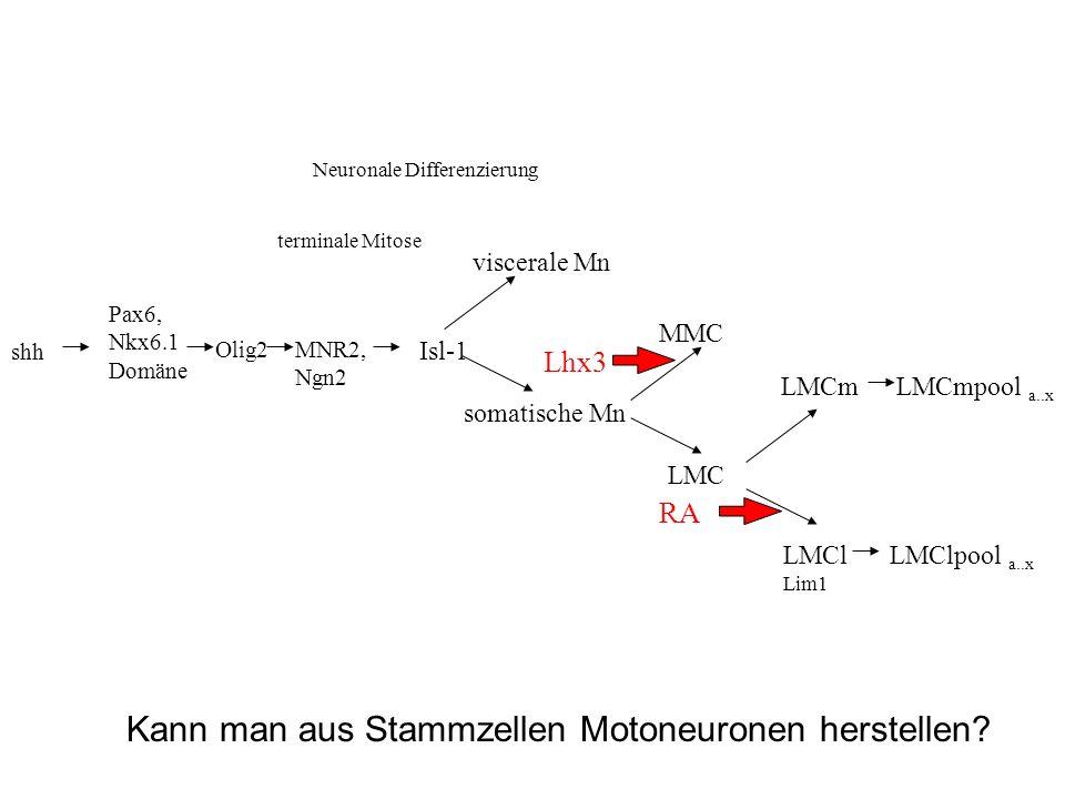 Kann man aus Stammzellen Motoneuronen herstellen