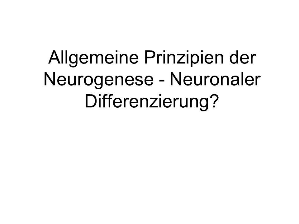 Allgemeine Prinzipien der Neurogenese - Neuronaler Differenzierung