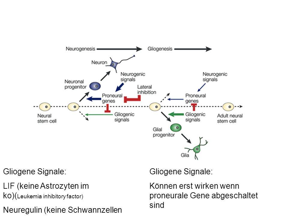 Gliogene Signale: LIF (keine Astrozyten im ko)(Leukemia inhibitory factor) Neuregulin (keine Schwannzellen im ko)