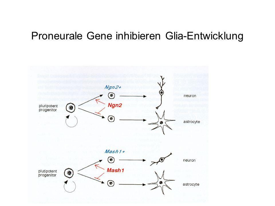 Proneurale Gene inhibieren Glia-Entwicklung