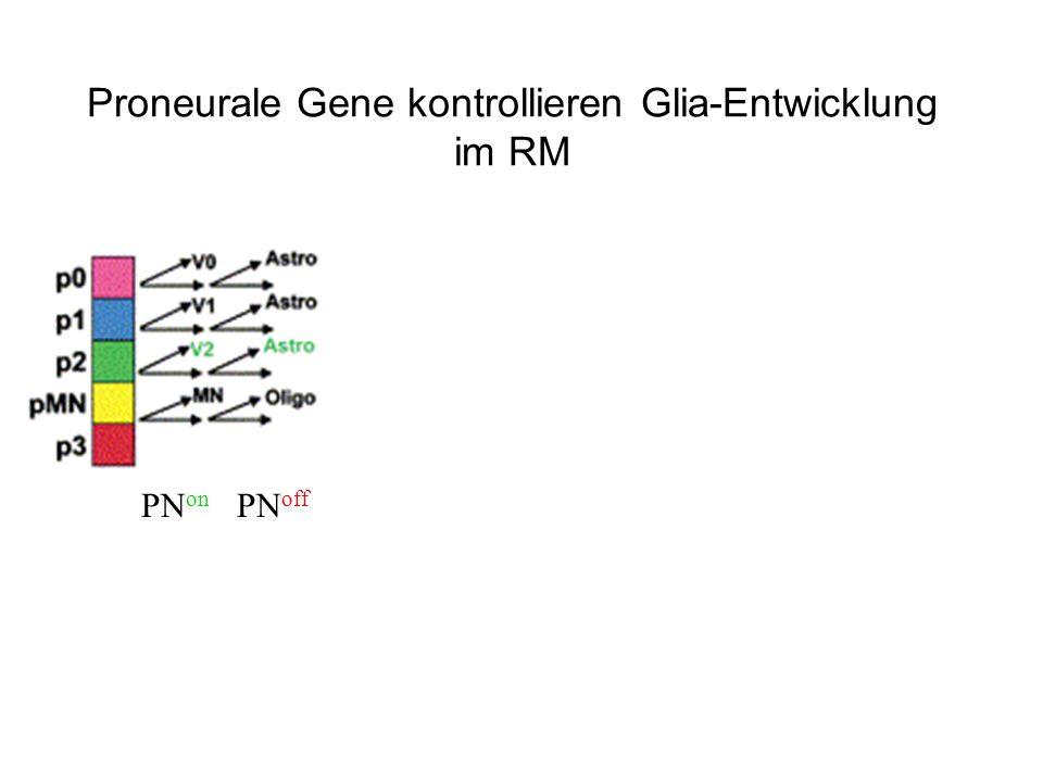 Proneurale Gene kontrollieren Glia-Entwicklung im RM