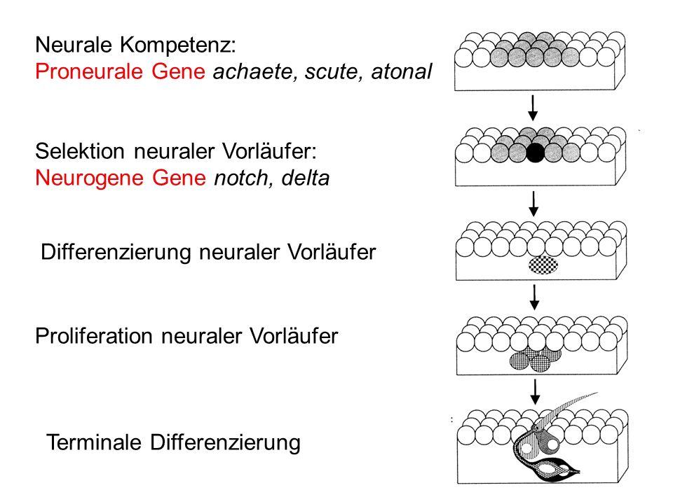 Neurale Kompetenz: Proneurale Gene achaete, scute, atonal. Selektion neuraler Vorläufer: Neurogene Gene notch, delta.