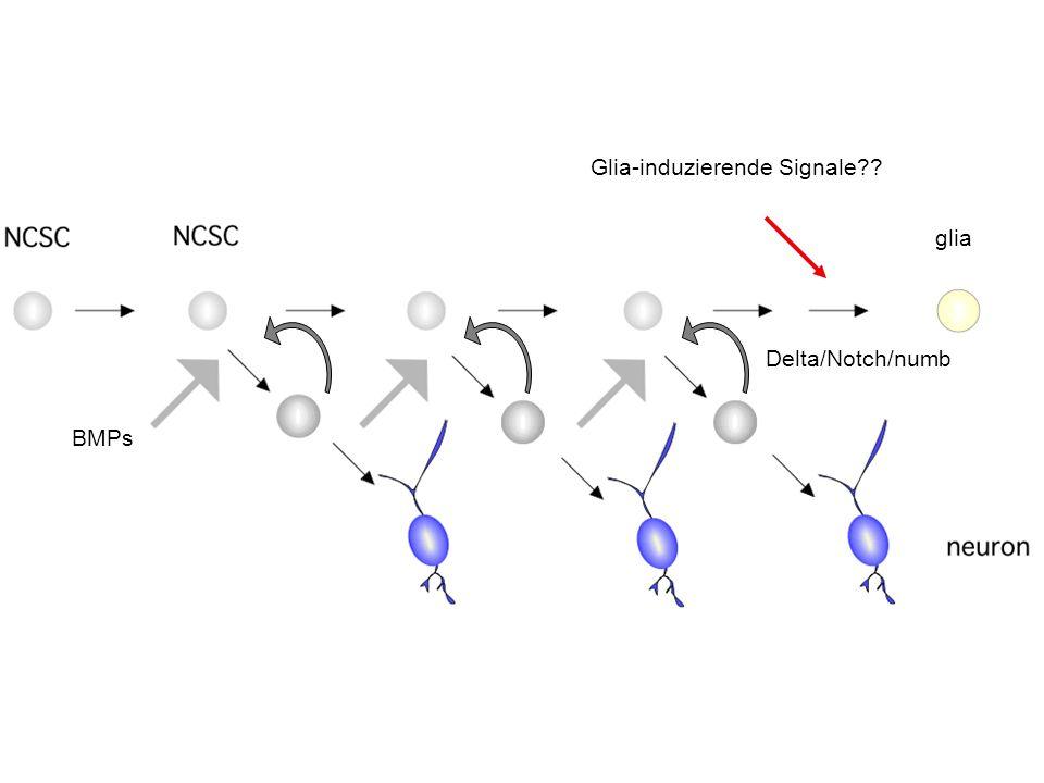 Glia-induzierende Signale