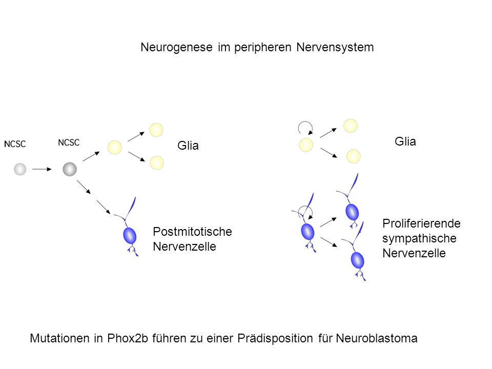 Neurogenese im peripheren Nervensystem