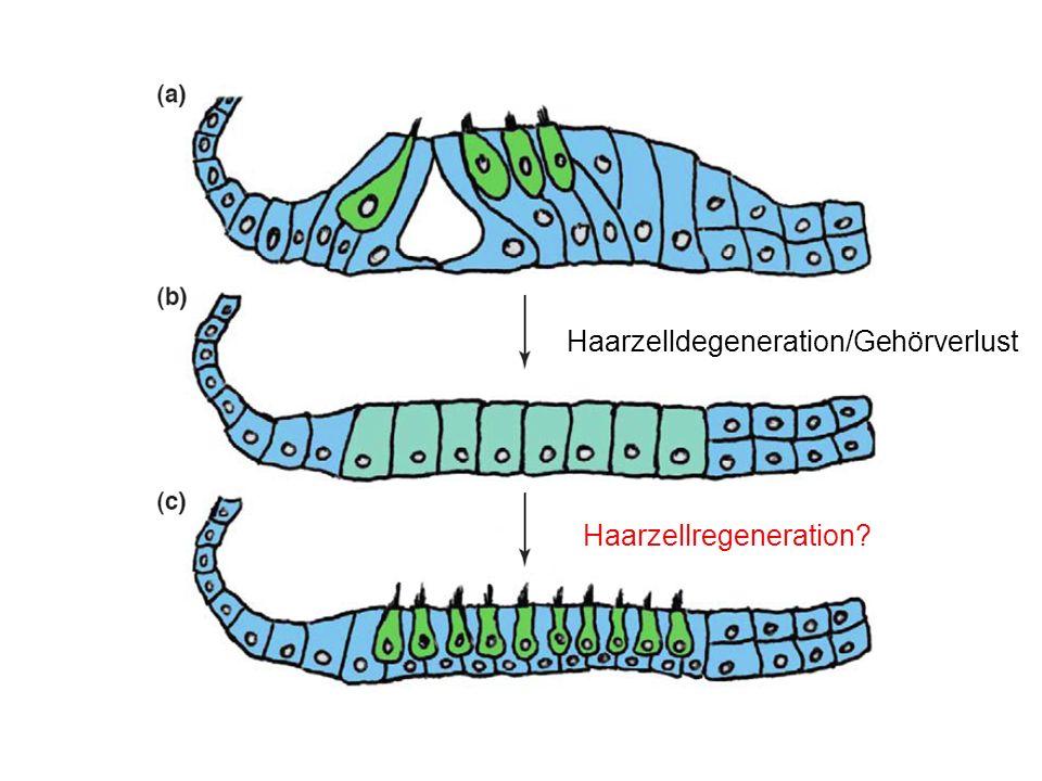 Haarzelldegeneration/Gehörverlust