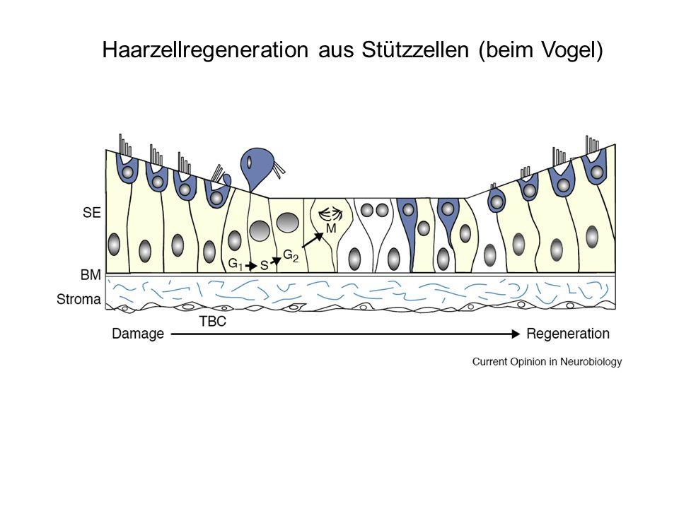 Haarzellregeneration aus Stützzellen (beim Vogel)