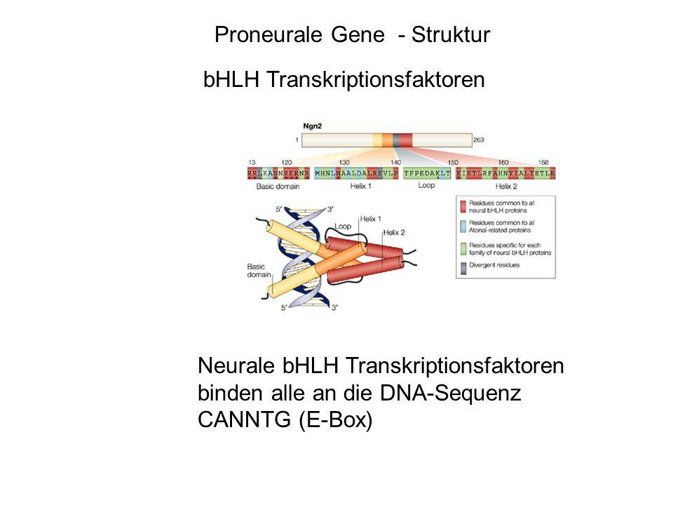 Proneurale Gene - Struktur