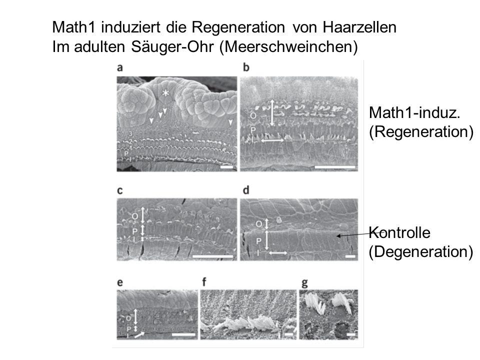 Math1 induziert die Regeneration von Haarzellen
